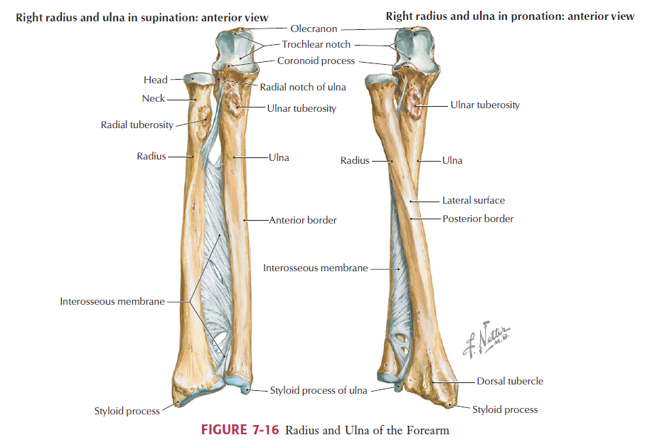 Elbow Anatomy Msk Learning Portfolioupper Limbs