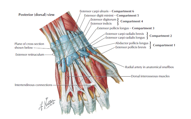 Wrist Anatomy - MSK Learning PortfolioUpper Limbs